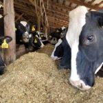 smith cows